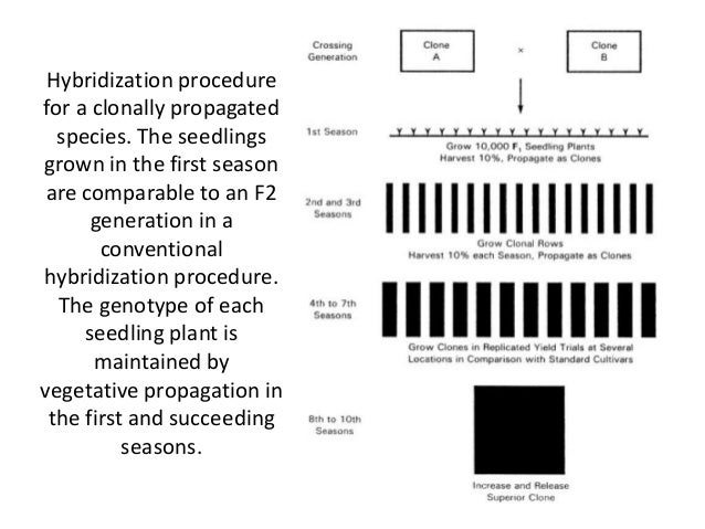 Hybridization procedure for a clonally propagated species. The seedlings grown in the first season are comparable to an F2...