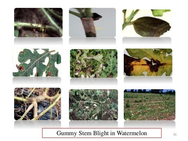 Breeding for disease resistence In cucurbites
