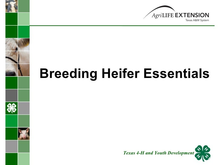 Breeding Heifer Essentials  Texas 4-H and Youth Development
