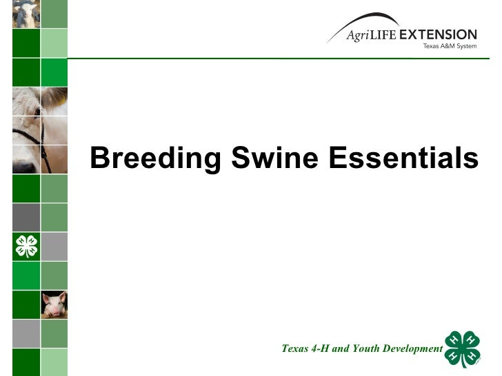 Breeding Swine Essentials Texas 4-H and Youth Development