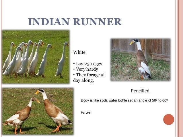 indian duck breeds nageshwari hans - Duck Breeds
