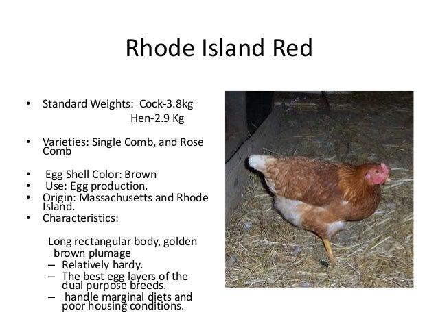 Rhode Island Red Vs Barred Rock