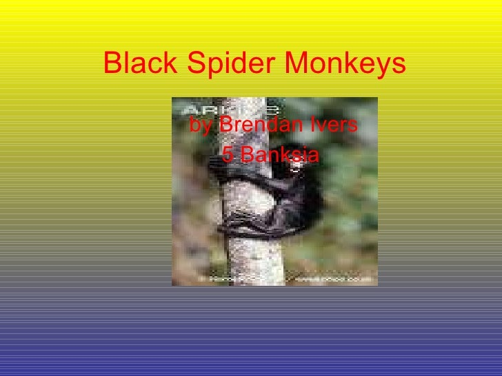 Black Spider Monkeys by Brendan Ivers 5 Banksia
