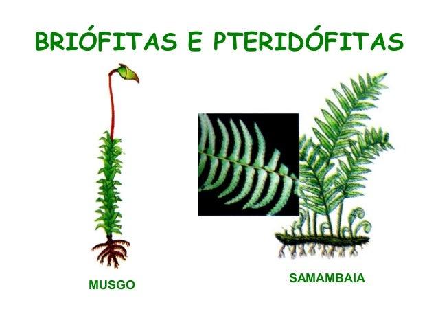 BRIÓFITAS E PTERIDÓFITAS  MUSGO  SAMAMBAIA