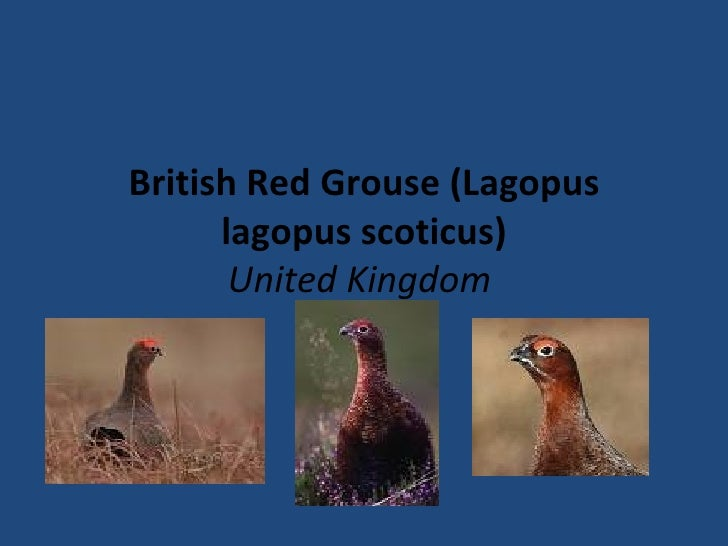 British Red Grouse (Lagopus lagopus scoticus) United Kingdom
