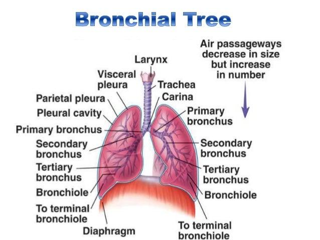 Tracheobronchial tree anatomy