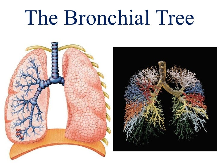 The Bronchial Tree