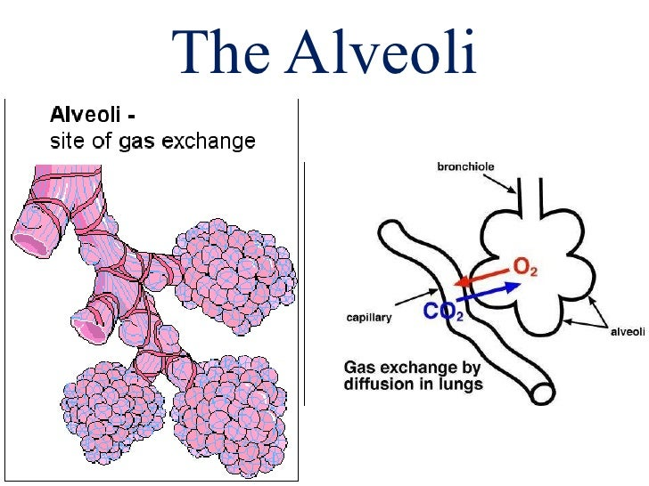 Bronchial Tree Alveoli Lungs Review