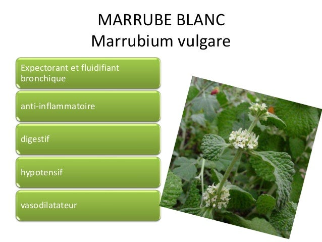 MARRUBE BLANC Marrubium vulgare Expectorant et fluidifiant bronchique anti-inflammatoire digestif hypotensif vasodilatateur
