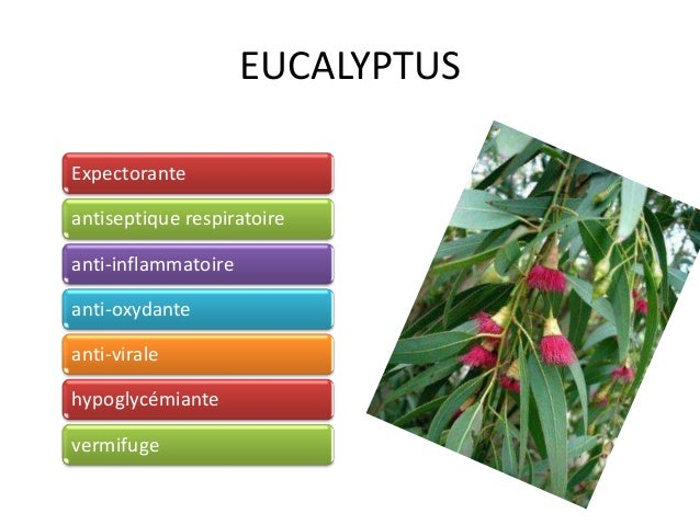 EUCALYPTUS Expectorante antiseptique respiratoire anti-inflammatoire anti-oxydante anti-virale hypoglycémiante vermifuge