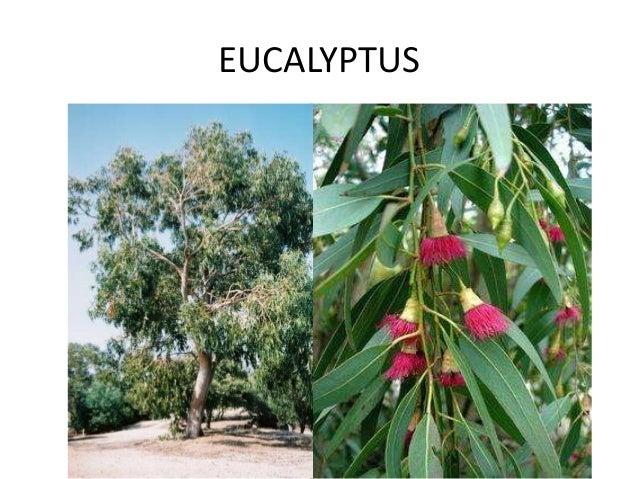 EUCALYPTUS SUITE GRIPPE