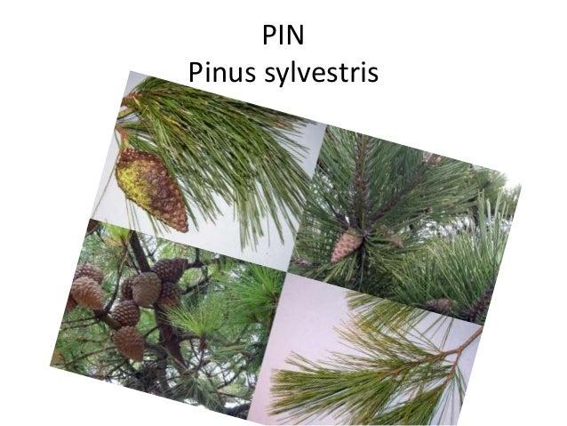PIN Pinus sylvestris