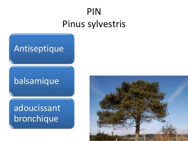 PIN Pinus sylvestris Antiseptique balsamique adoucissant bronchique