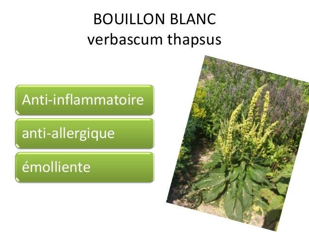 BOUILLON BLANC verbascum thapsus Anti-inflammatoire anti-allergique émolliente