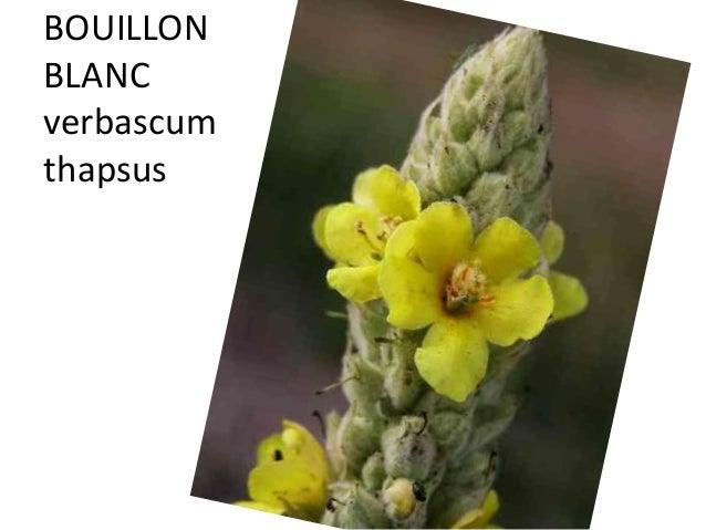 BOUILLON BLANC verbascum thapsus