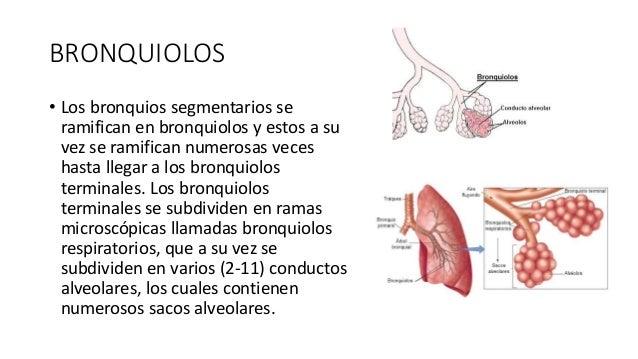 Bronquios y lóbulos / alveolos