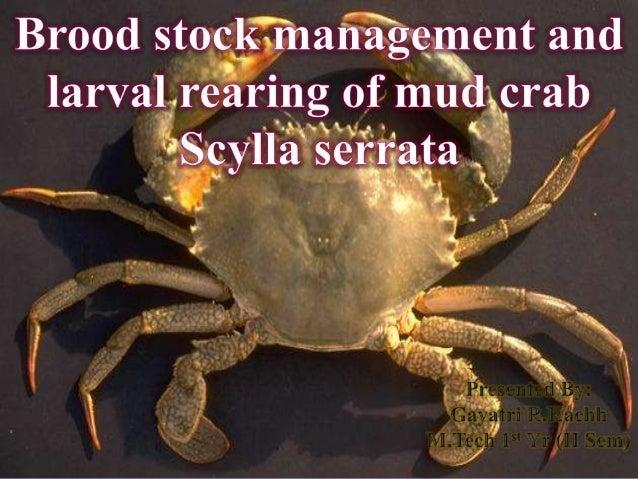  Scylla serrata (mud crab or mangrove crab or black crab)  Economically important species of crab - estuaries and mangro...
