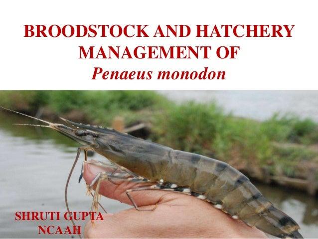BROODSTOCK AND HATCHERY MANAGEMENT OF Penaeus monodon SHRUTI GUPTA NCAAH