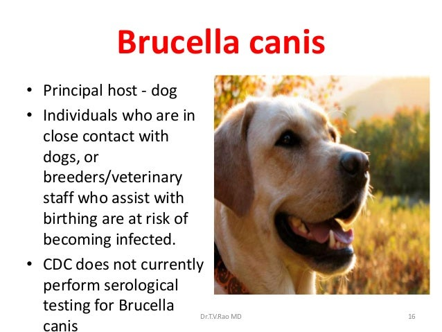 Brucellosis Brucellosis In Dogs