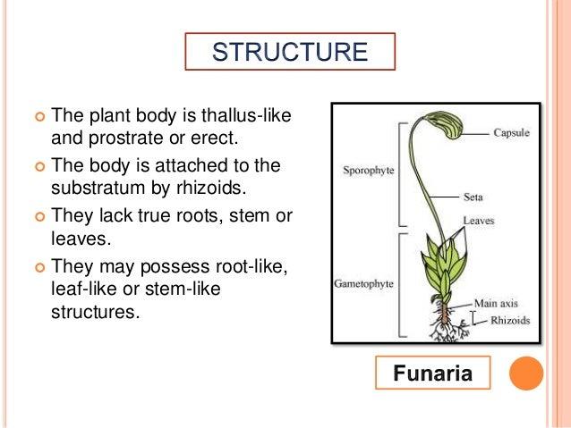 Bryophytes :Amphibians of Plant Kingdom  Slide 3