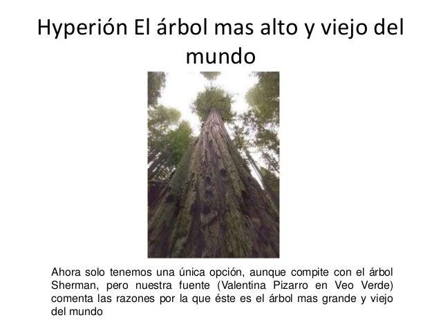 Hyperión El árbol mas alto y viejo del  mundo  Ahora solo tenemos una única opción, aunque compite con el árbol  Sherman, ...
