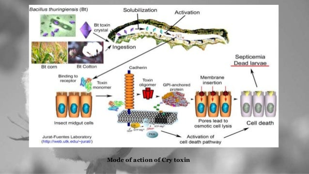 transgenic bt cotton Bt gm crops are protected specifically against european corn borer, southwestern corn borer, tobacco budworm, cotton bollworm, pink bollworm and the colorado potato beetle other benefits attributed to using bt include:.