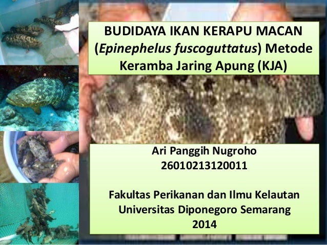 BUDIDAYA IKAN KERAPU MACAN (Epinephelus fuscoguttatus) Metode Keramba Jaring Apung (KJA) Ari Panggih Nugroho 2601021312001...