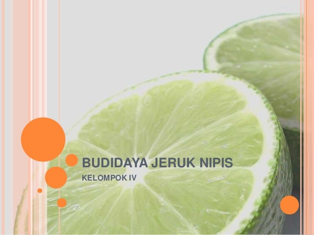 Budidaya Jeruk Nipis