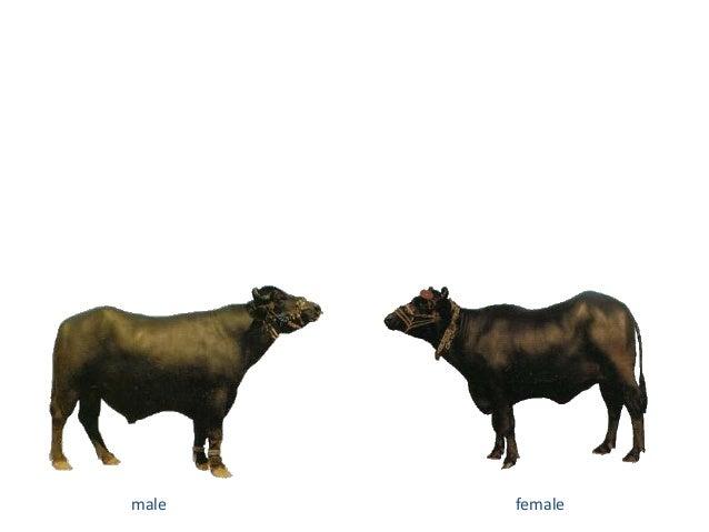 Buffalo breed of pakistan