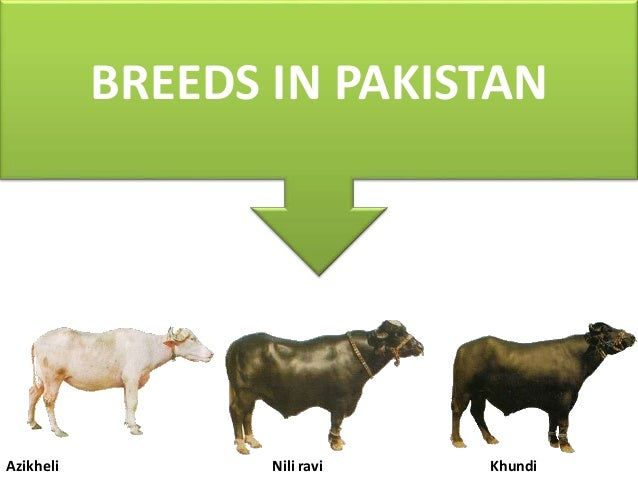 Buffalo breed of pakistan