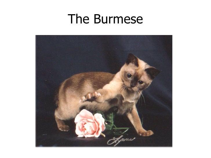 The Burmese