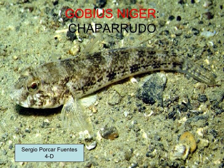GOBIUS NIGER : CHAPARRUDO Sergio Porcar Fuentes 4-D