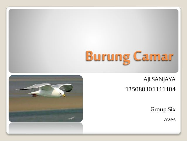 Burung Camar AJI SANJAYA 135080101111104 Group Six aves