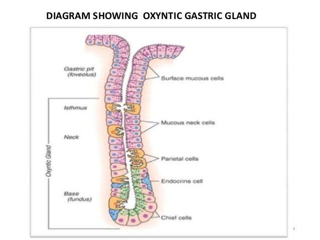 4  DIAGRAM SHOWING OXYNTIC GASTRIC GLAND