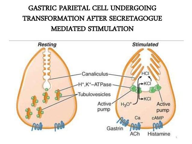 GASTRIC PARIETAL CELL UNDERGOING  TRANSFORMATION AFTER SECRETAGOGUE  MEDIATED STIMULATION  5