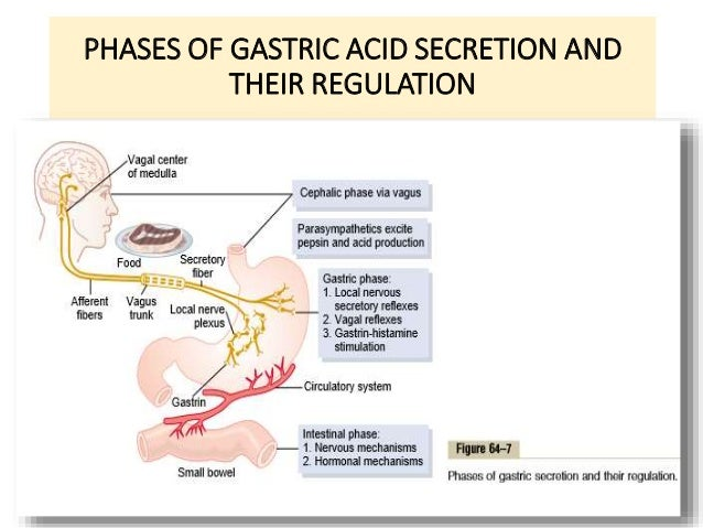 PHASES OF GASTRIC ACID SECRETION AND  THEIR REGULATION  6