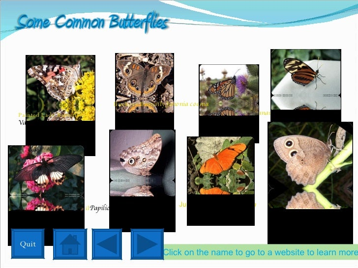 Painted Lady Butterfly Vanessa cardui Monarch Butterfly Danaus plexippus Tiger Longwing Heliconius hecale Great Mormon Swa...
