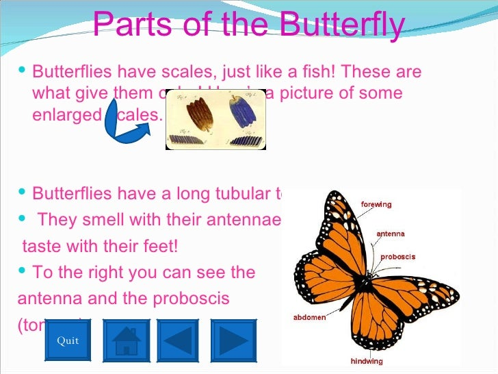 Parts of the Butterfly <ul><li>Butterflies have scales, just like a fish! These are what give them color! Here's a picture...