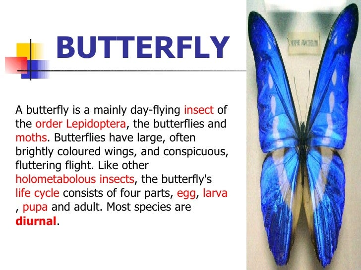 BUTTERFLY   A butterfly is a mainly day-flying  insect  of the  order   Lepidoptera , the butterflies and  moths . Butterf...