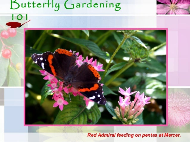 Butterfly Gardening 101 Red Admiral feeding on pentas at Mercer.