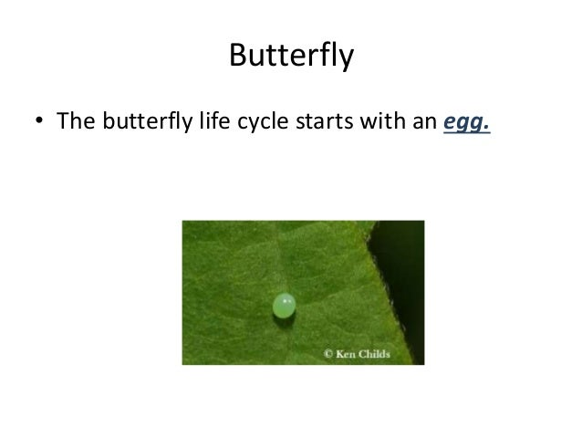 Butterfly • The butterfly life cycle starts with an egg.