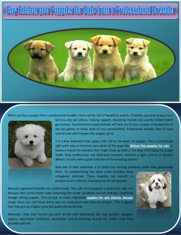 Buy bichon poo puppies for sale from a professional breeder