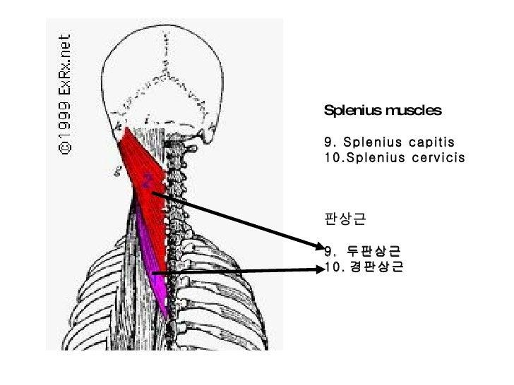 Suboccipital triangle  Wikipedia