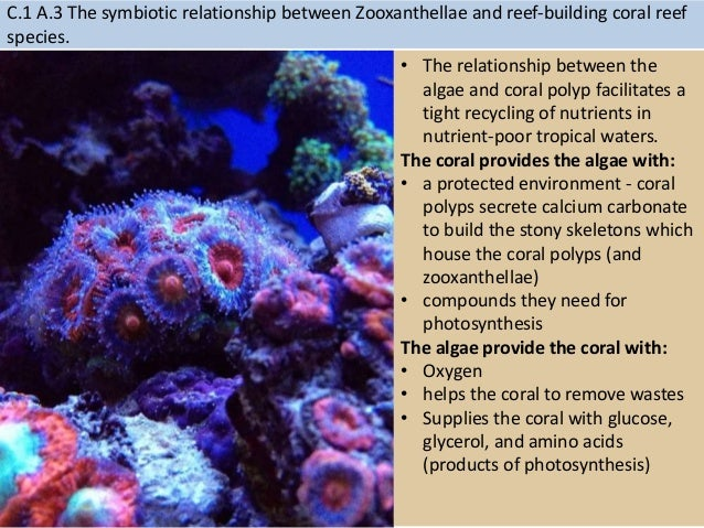 symbiotic relationship between coral polyp and algae