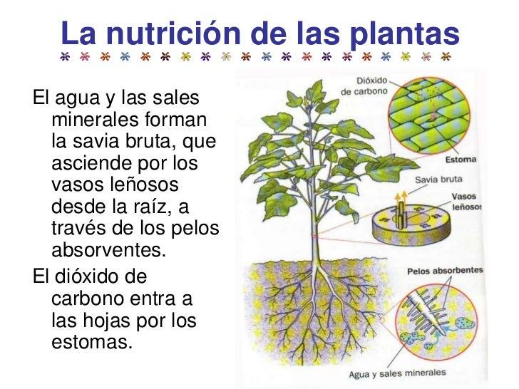 C medio las plantas tercer ciclo e primaria for Arboles de hoja perenne y caduca primaria