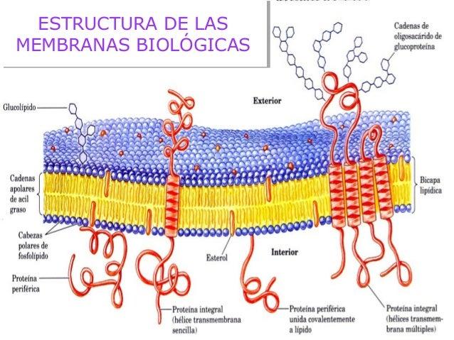 Membranas Celulares Y Mecanismos