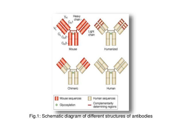 Therapeutic Humanised Monoclonal Antibodies