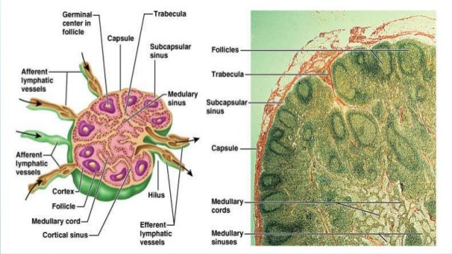 Lymphatic. anatomy