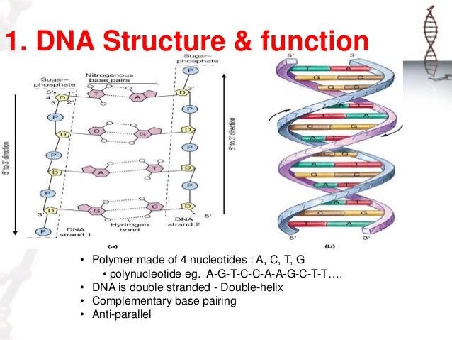 dna diagram gene wiring diagram db DNA Base Pairs