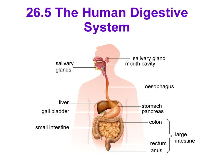 C26 Digestion In Human